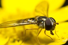 Hoverfly on yellow blossom Stock Photography