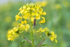 Hoverfly on a yellow charlock mustard flower.  royalty free stock images