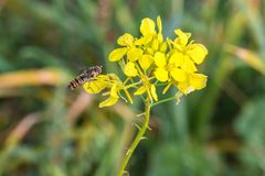 Hoverfly on a yellow charlock mustard flower.  royalty free stock photo