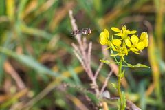Hoverfly on a yellow charlock mustard flower.  royalty free stock photography