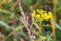 Hoverfly on a yellow charlock mustard flower.  stock image