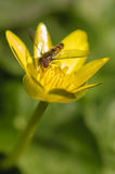 Hoverfly on yellow flower Royalty Free Stock Photo