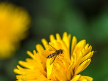 Hoverfly on a yellow flower Stock Images