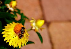 Hoverfly on yellow flower Stock Images
