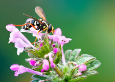 Hoverfly, yellow fly on the ear Royalty Free Stock Image