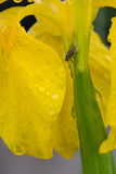 Hoverfly on a yellow iris Stock Photos