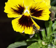 Hoverfly on a yellow pansy. A Hoverfly on a yellow pansy, the yellow and black abdomen blending in with the colour of the flower Stock Photo