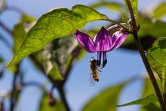 Hoverfly zapyla purpurowego serrano pieprzu kwiatu fotografia stock