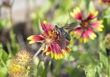 Hoverfly on a Zinnia Bloom Royalty Free Stock Image