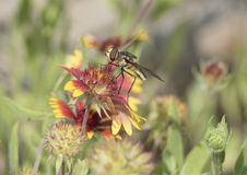 Hoverfly on a Zinnia Bloom Royalty Free Stock Photos