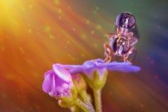 Hoverflys su un fiore Immagine Stock
