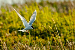 Hovering Arctic Tern Royalty Free Stock Photos