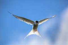 Hovering Arctic tern Royalty Free Stock Images