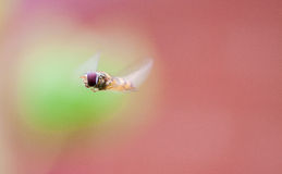 Hovering around Royalty Free Stock Photo