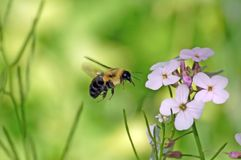 Free Hovering Bee Stock Images - 9804454