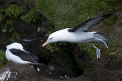 Hovering Black-browed Albatross Royalty Free Stock Photo