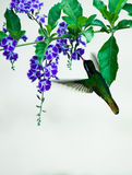 Hovering Broad-Billed Hummingbird sipping nectar from a floret Stock Photos