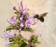 Hovering carpenter bee Royalty Free Stock Photos