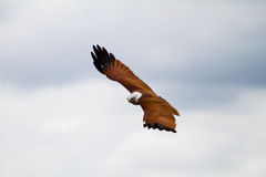 Hovering falcon. Gliding eagle showing its upper wing feathers in a cloudy sky stock image