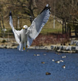 Hovering Gull Stock Photography