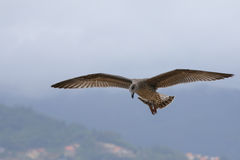 Hovering Gull. A juvenile gull hovers over Vigo, Spain Stock Photography
