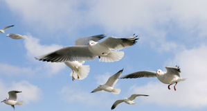 Hovering gulls Stock Images