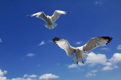 Hovering Gulls Stock Photography