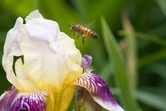 Hovering honey bee Stock Image