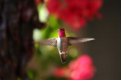 Hovering Hummer Royalty Free Stock Photo
