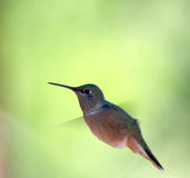 Hovering Hummingbird Stock Images