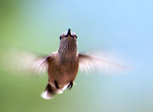 Hovering Hummingbird Royalty Free Stock Photography