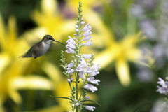 Hovering Hummingbird Royalty Free Stock Images