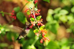 Hovering hummingbird stock image