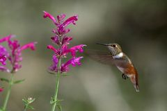 Hovering hummingbird. Rufous hummingbird hovering next to sonoran sunset flowers Royalty Free Stock Images