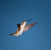 Hovering hummingbird Royalty Free Stock Image