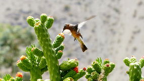 Hovering hummingbird feeding on cactus flower. Sharp picture of a hovering hummingbird with its beak in a cactus flowers, taken in Pisco de Elqui in the Elqui Royalty Free Stock Photography