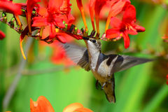 Hovering hummingbird feeding on crocosmia Stock Photos