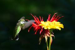 Hovering hummingbird  at flowers Royalty Free Stock Image