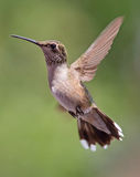 Hovering Hummingbird Royalty Free Stock Photo