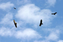 Hovering Kettle of Vultures Stock Photo