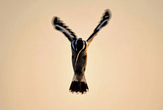 A Hovering Kingfisher Stock Photo