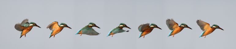 Hovering Kingfisher Sequence royalty free stock photo