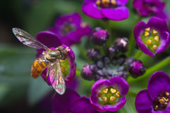 Hovering over Alyssum Flowers Stock Image