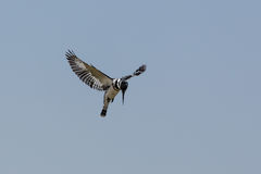 Hovering Pied Kingfisher Royalty Free Stock Images