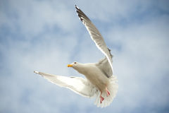 Hovering seagul Stock Photo