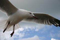 Hovering Seagull stock images