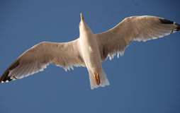 Hovering Seagull Royalty Free Stock Photos