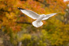 Hovering seagull Stock Photos