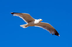 Hovering seagull Stock Photo