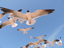 Hovering seagulls Royalty Free Stock Images